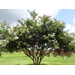 Natchez Crape Myrtle – Ornamental Plant of the Week for July 27, 2015