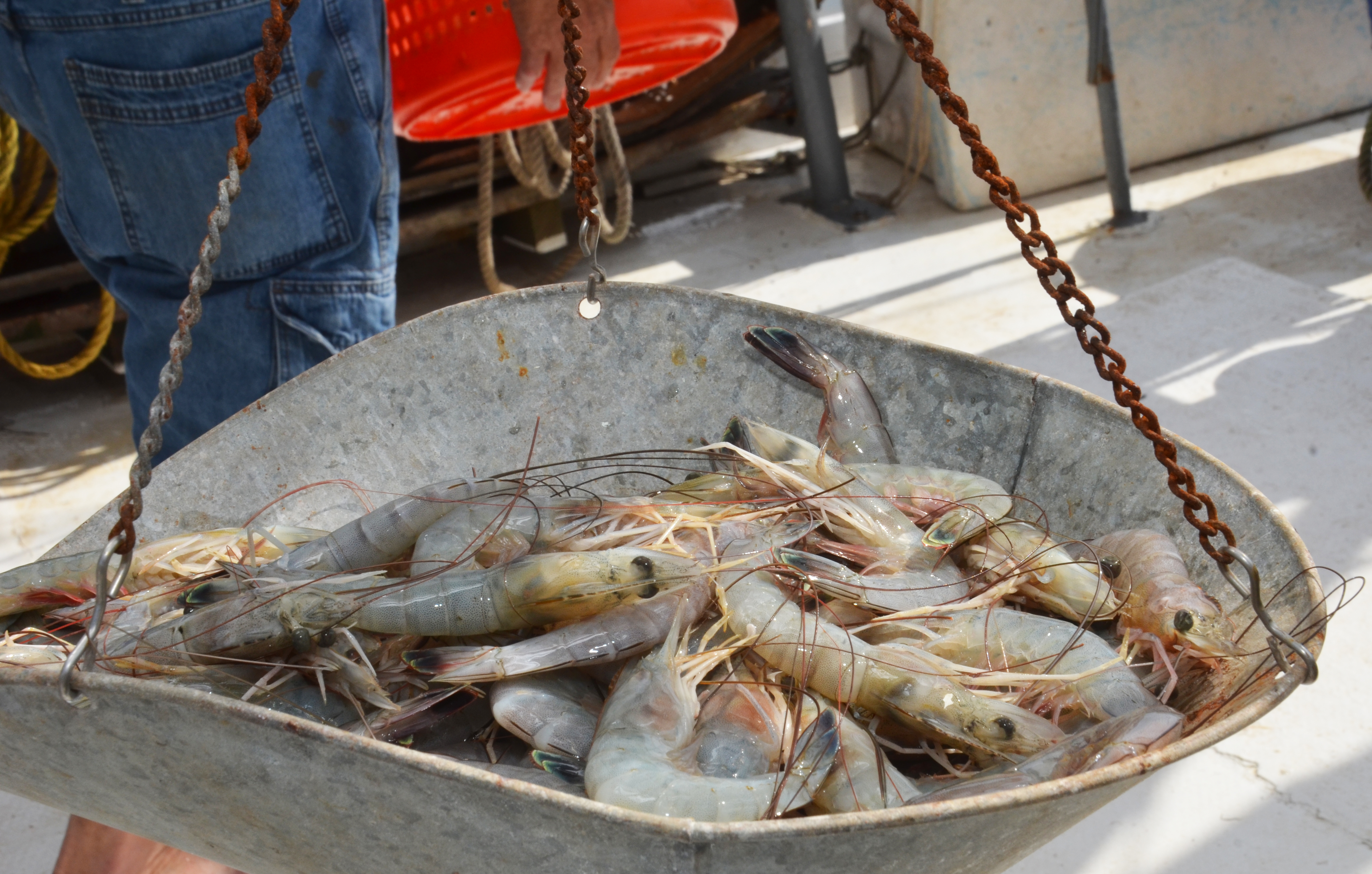 Shrimp being weighed on the scale.