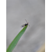 Aphid Parasitic Wasp 2
