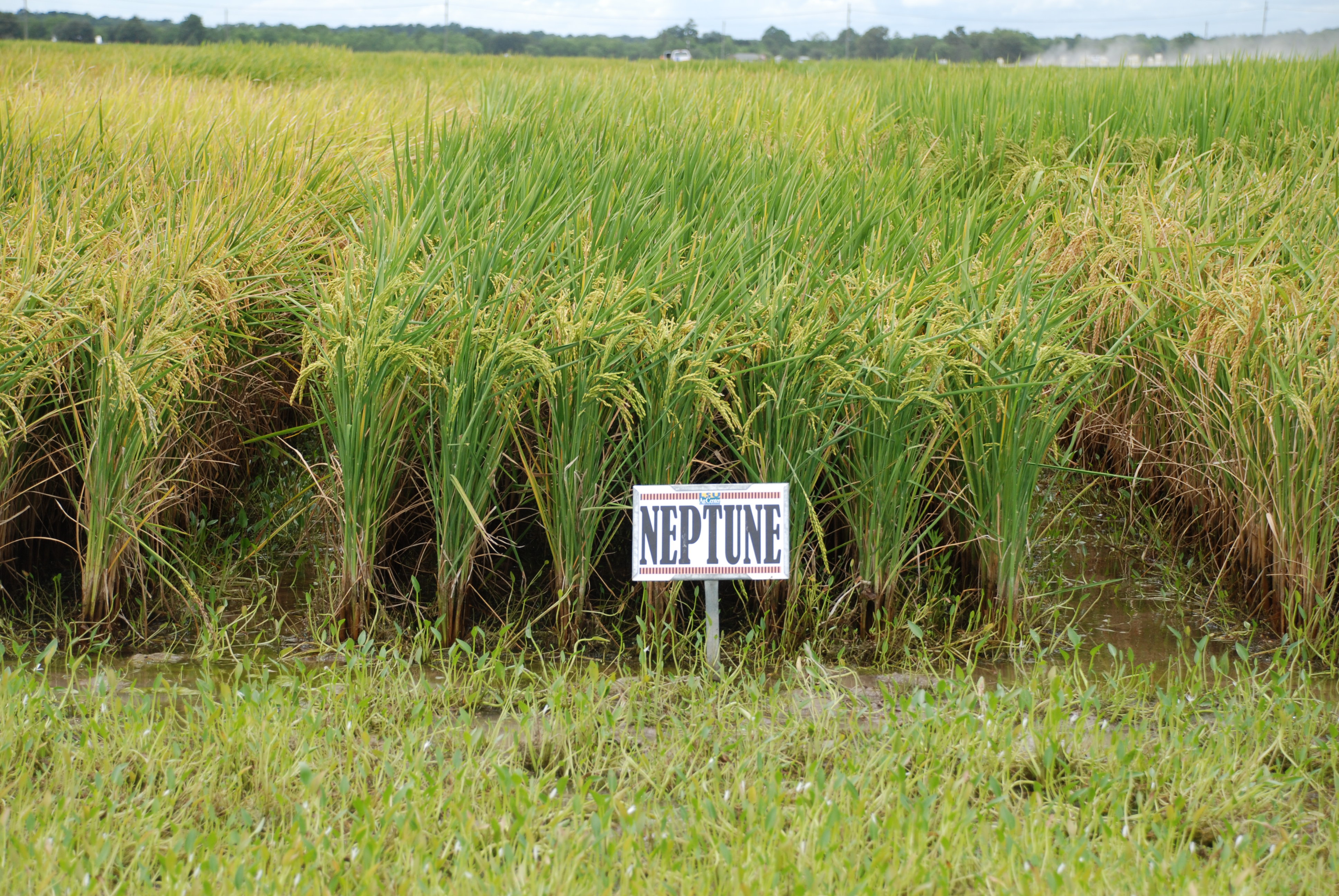 Rice Variety Selection - An Important First Step/Dermacor X-100