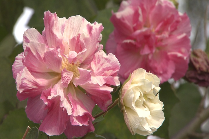 Traditional Confederate rose creates double blooms