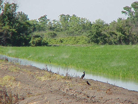 rsm swarm over rice field