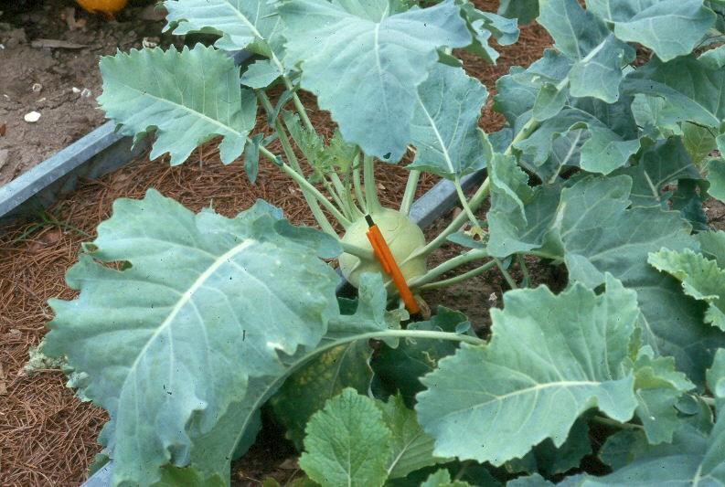 kohlrabi  the cabbage turnip