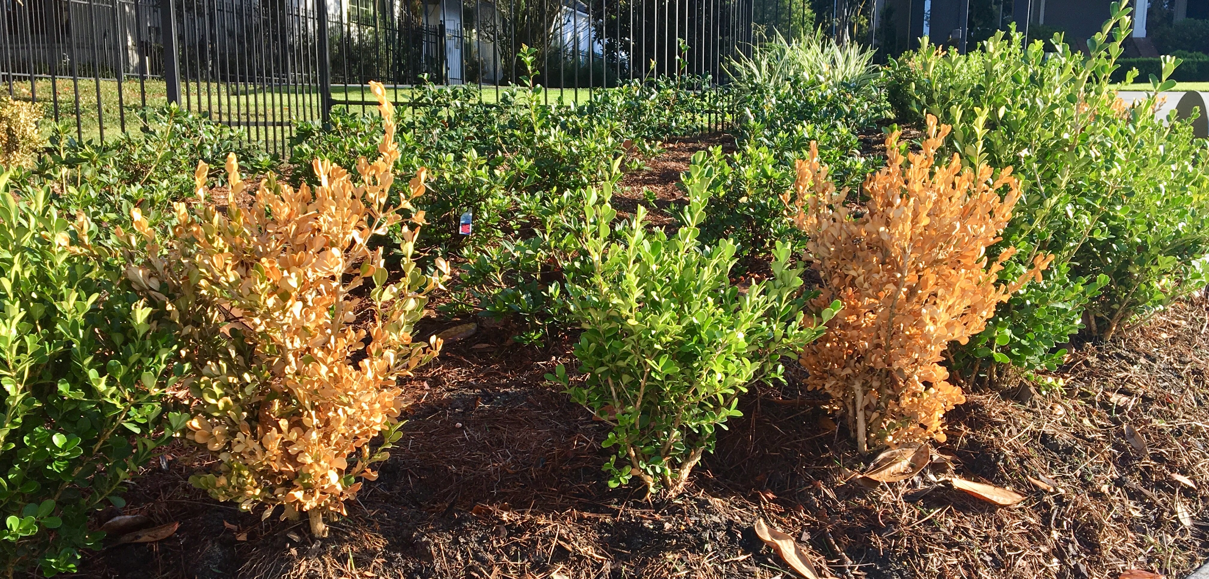 Littleleaf boxwood is susceptible to many things in early establishment including many fungal diseases that can lead to death-photo credit Heatther Kirk Ballard.jpg thumbnail