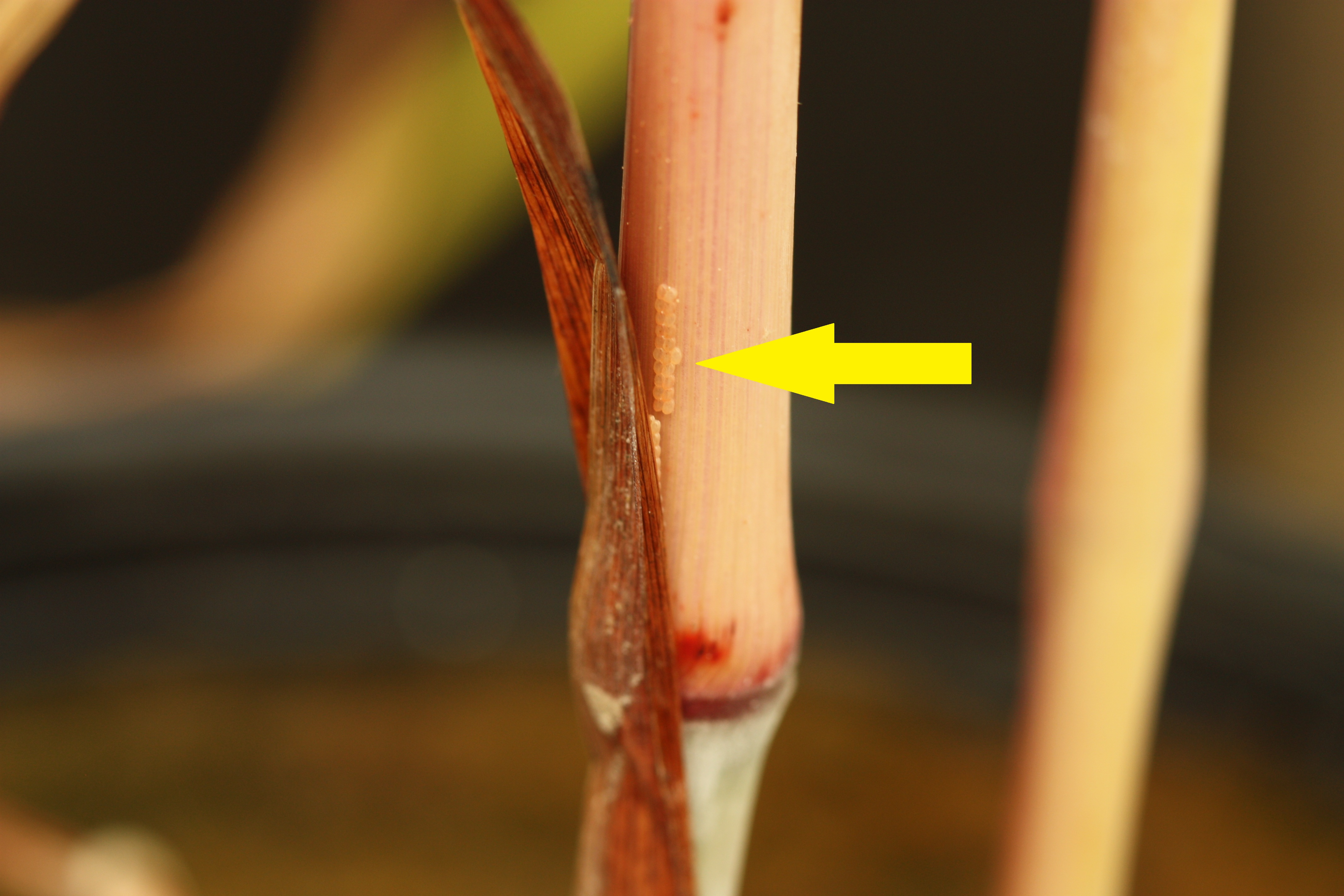 Mexican rice borer egg cluster laid on a johnsongrass stem under the leaf sheath.