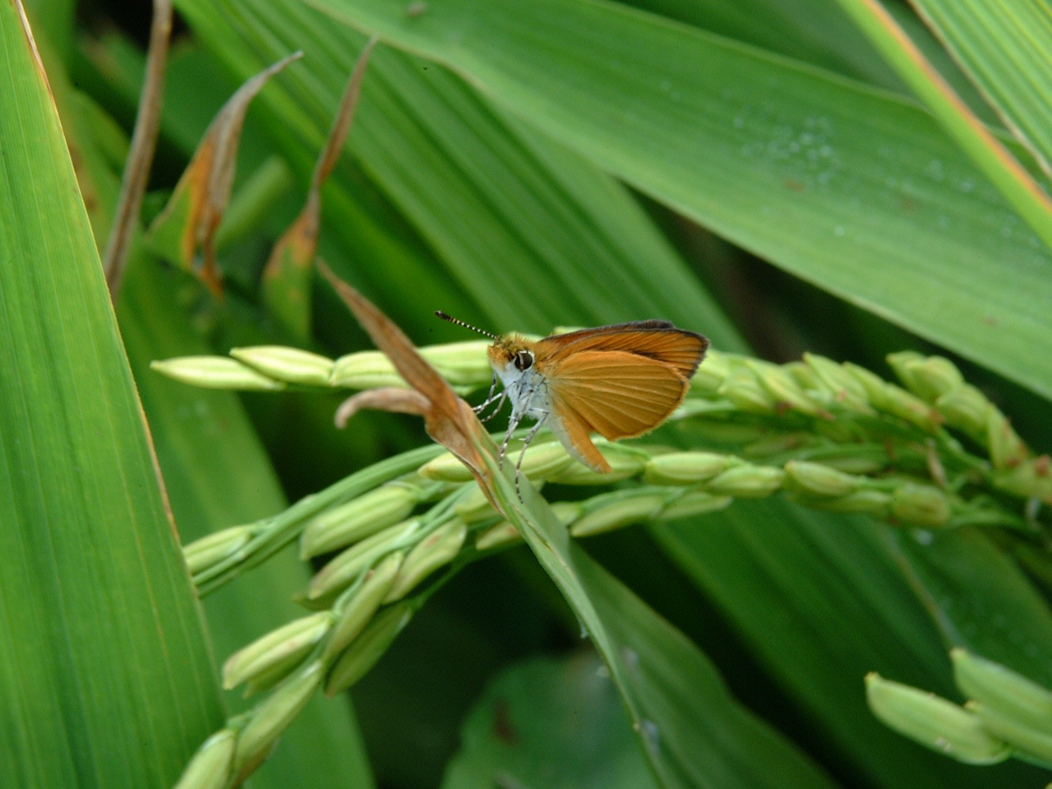 Skipper adult on a rice plant.