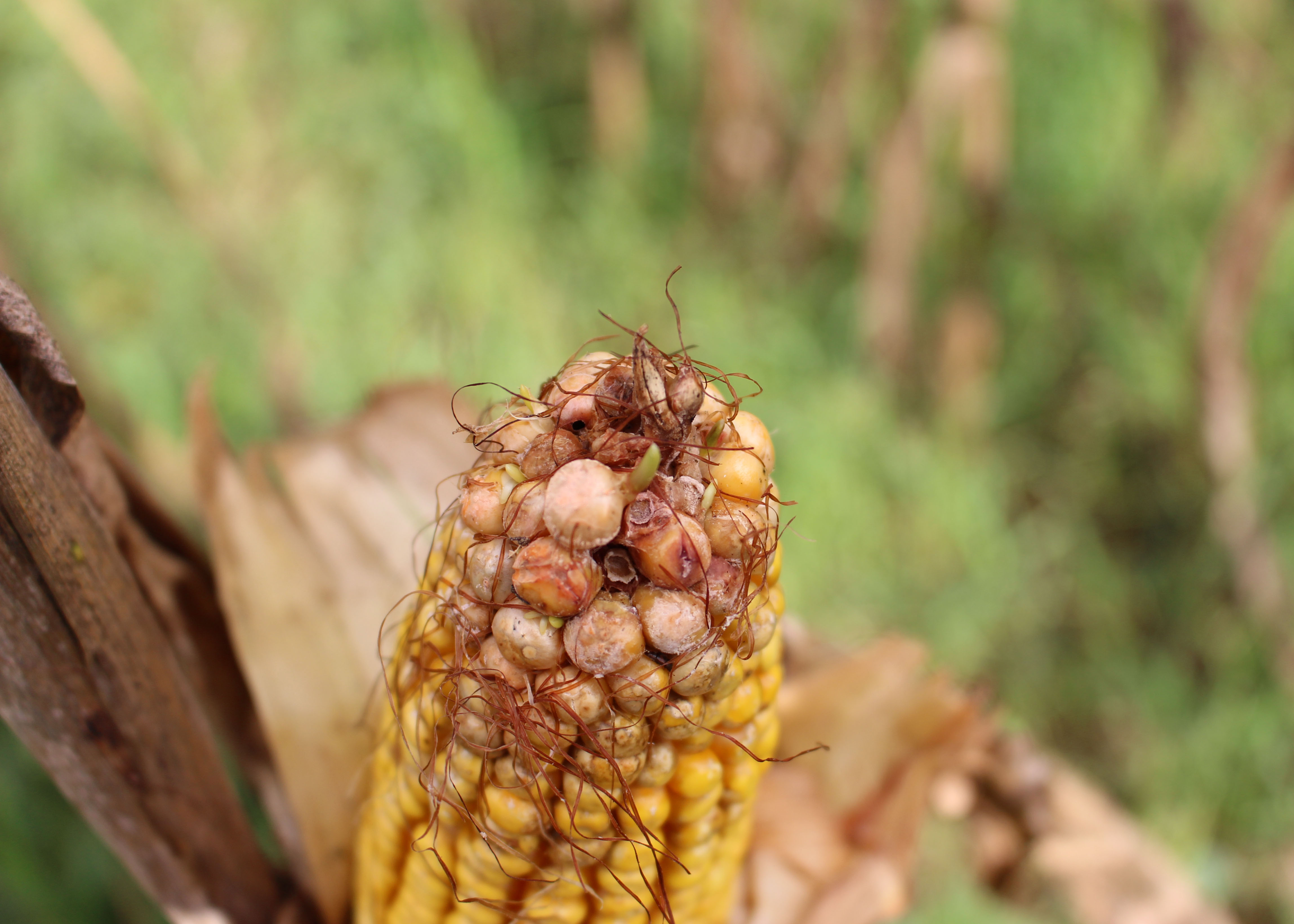 Louisiana corn, grain sorghum crops suffer losses during flood