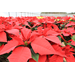 LSU AgCenter poinsettia open house set for Dec. 4 in Baton Rouge