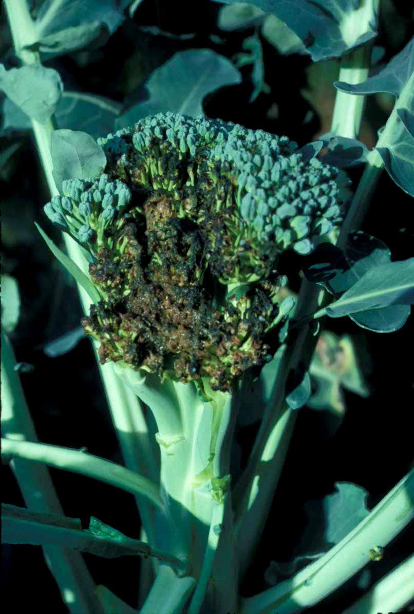 V Is For Vegetables Diseases of Broccoli