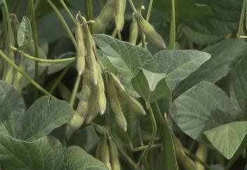 Research aims to help soybean farmers improve yields