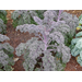 Louisiana Super Plant Redbor Kale