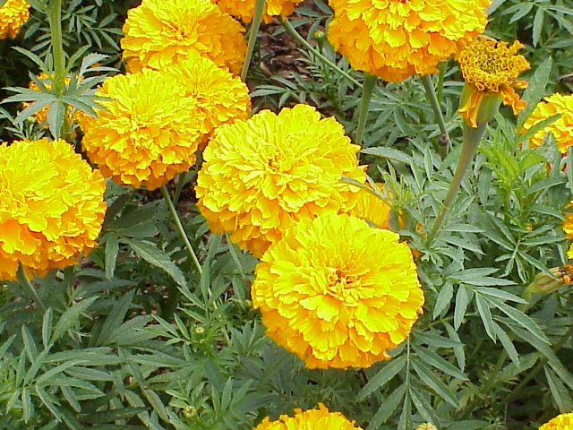 marigold yellowishJPG