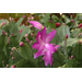 Christmas cactus adds beauty for the holidays and beyond