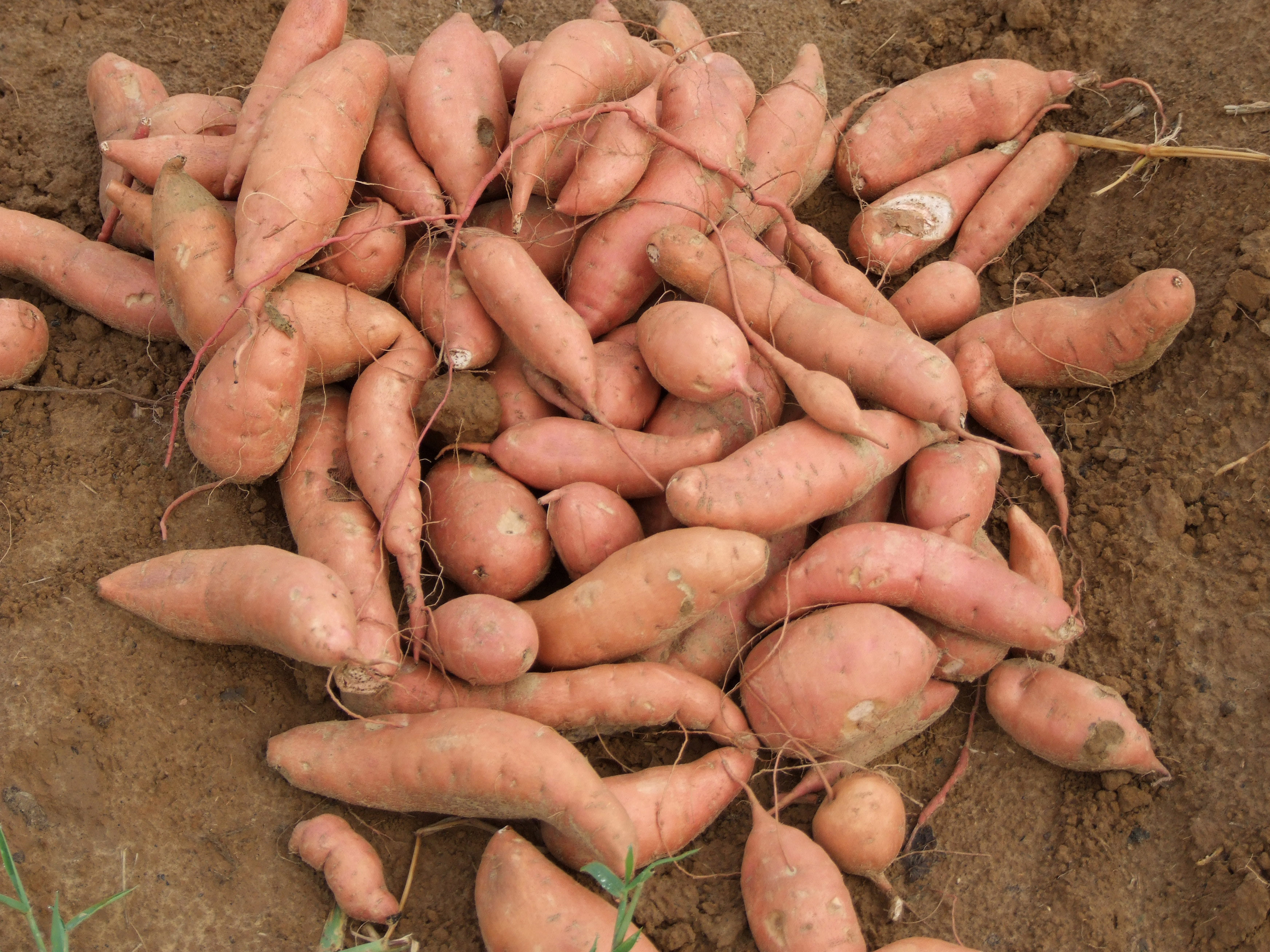 LSU AgCenter sweet potato field day set for Aug. 16
