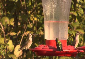Students study migrating hummingbirds