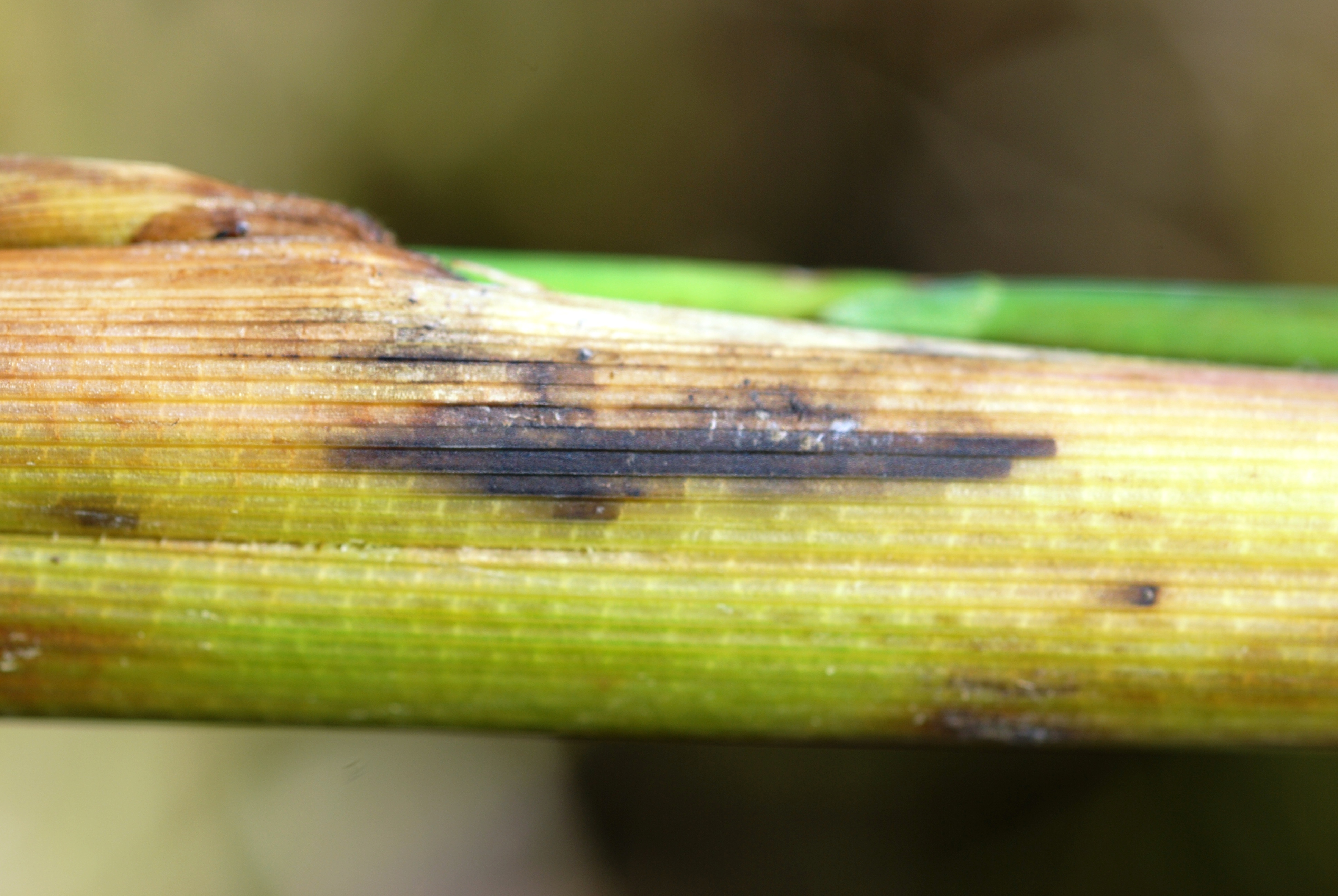 Stem Rot Infection Symptoms