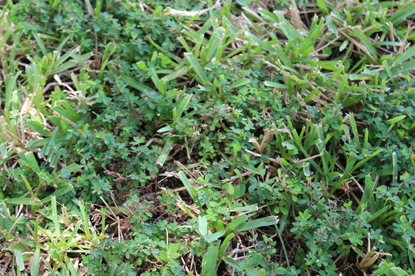 Picture of lawn with common lespedeza weeds.