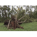 Tropical systems damage Louisiana's pecan crop