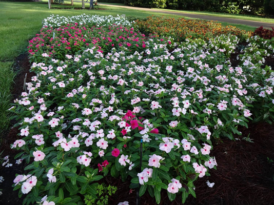 Lsu Agcenter Names Top Bedding Plants, Pictures And Names Of Bedding Plants