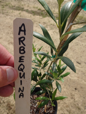 Arbequina Is The Most Sold Olive Variety In Louisiana Photo By Allen Owings Lsu Agcenter