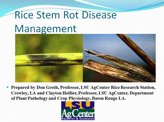Rice Stem Rot Disease Management.