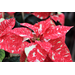 Expert tells how to select a poinsettia for the holidays