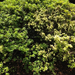 Azaleas Showing Symptoms of Root Rot