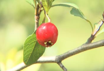 Late freeze leads to mayhaw shortage