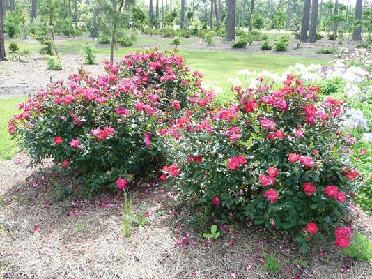 Pruning And The Care Of Knock Out Roses