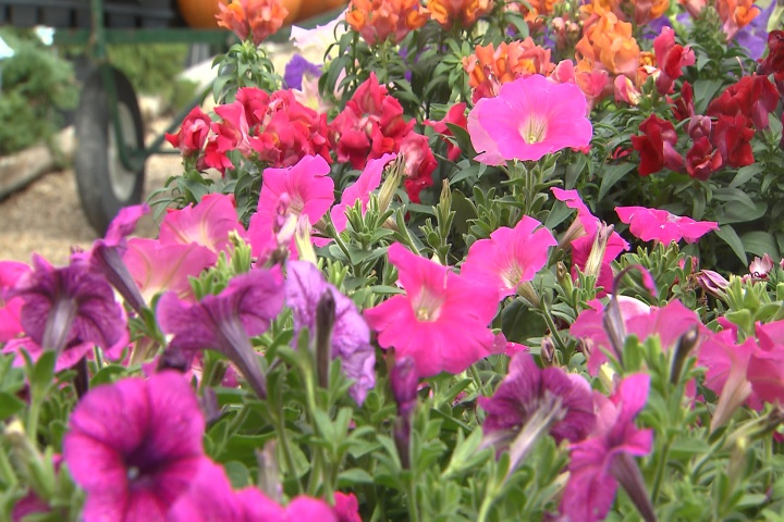 Cool-season flowers that tolerate heat