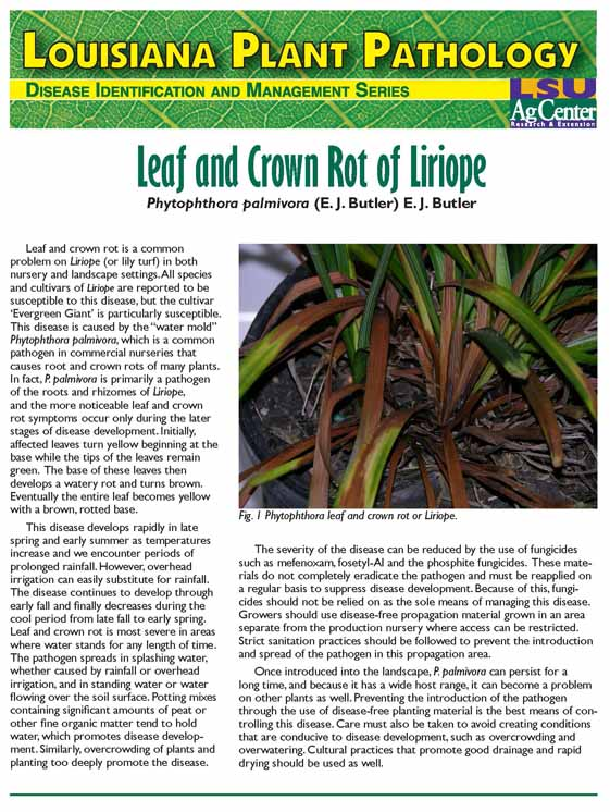 Louisiana Plant Pathology:  Leaf and Crown Rot of Liriope