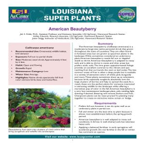 Louisiana Super Plants: American Beautyberry