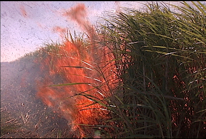 Researchers search for better burn for sugarcane