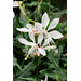 Sparkle White Gaura – Ornamental Plant of the Week for February 16, 2015