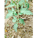 Black Spots on Tomato Leaves