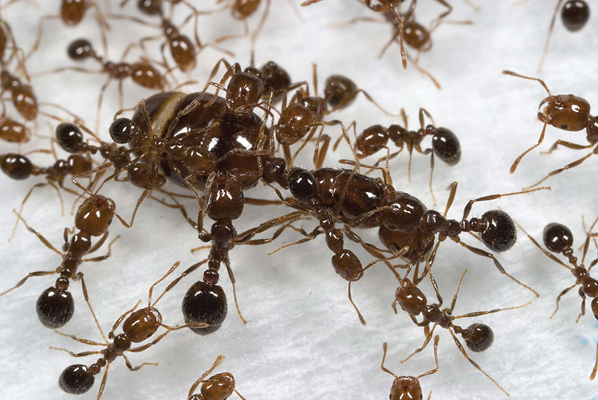 A fire ant queen is protected and groomed by her workers.