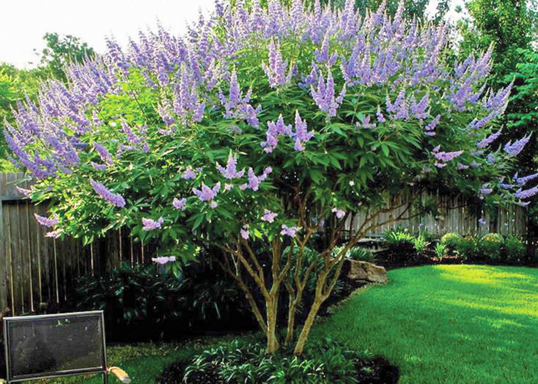 Shoal Creek Vitex.jpg thumbnail