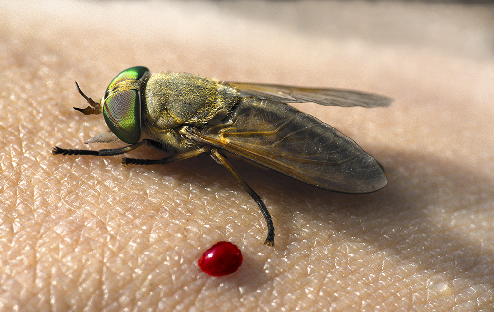 Greenhead horse flies give clues to marsh health after oil spills