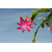 The Christmas Cactus