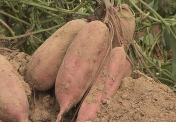 Wet weather conditions affect Louisiana sweet potato harvest