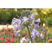 Graceful agapanthus come in different sizes