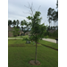 Oak Tree Question