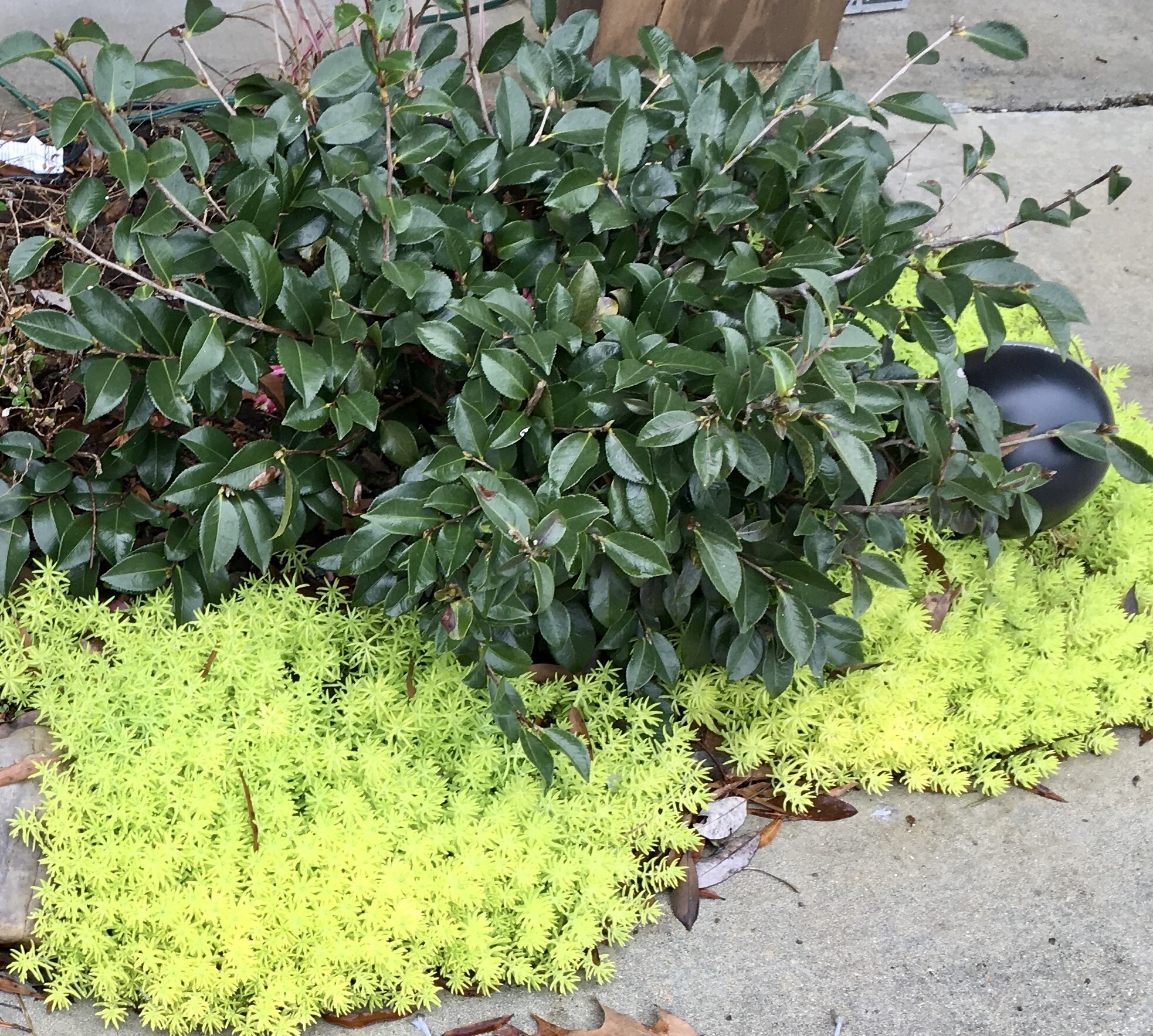 Lemon sedum continues to thrive in winter adding gorgeous chartreuse color to the landscape.jpg thumbnail