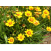 Coreopsis – Ornamental Plant of the Week for April 21, 2014