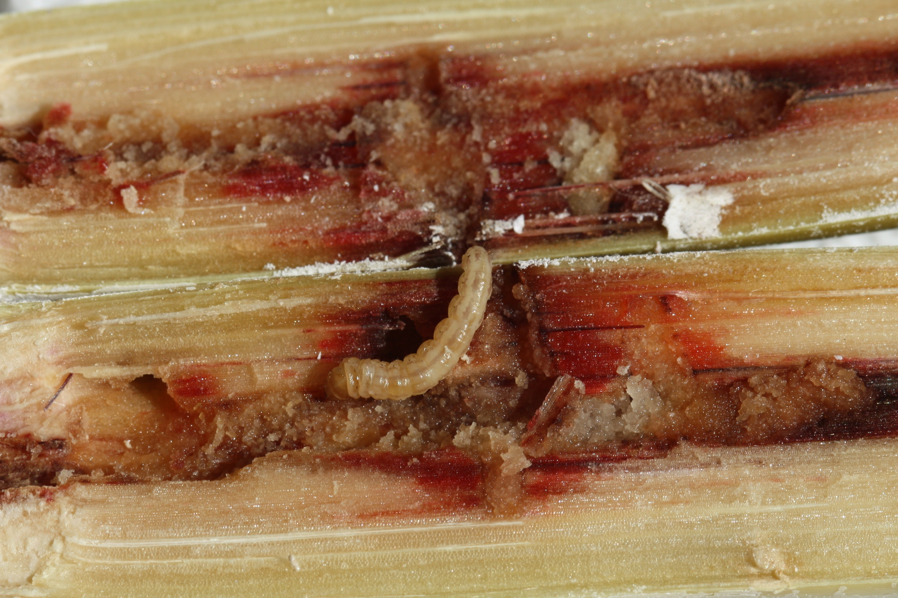 Mexican rice borer larva (approx. 4th instar).
