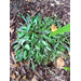 Problem with Ajuga Plants