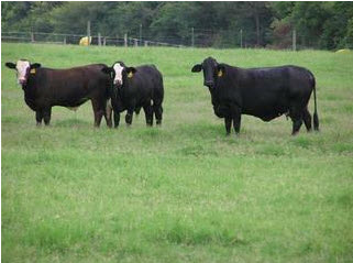 The Prime Times...A Beef Cattle Newsletter