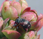 Blueberry Blossom Weevil