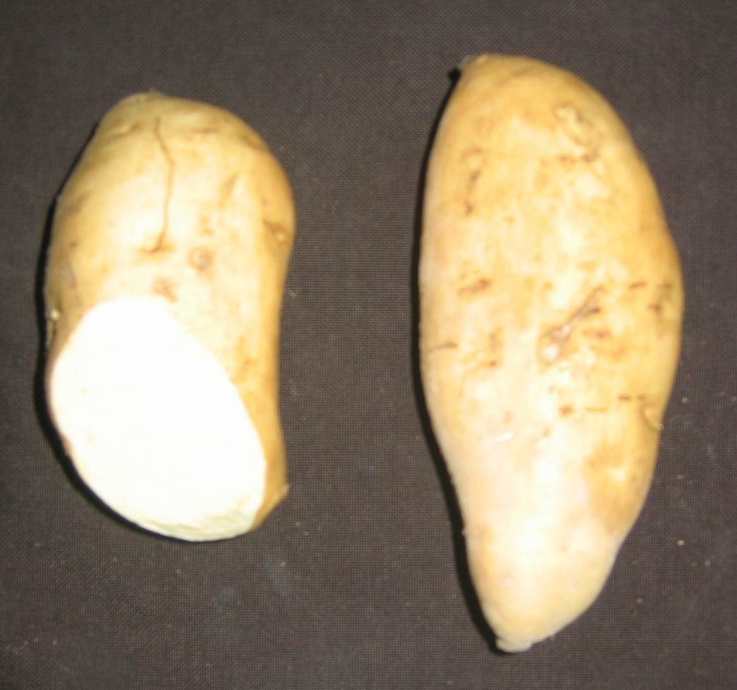 Two sweet potatoes with cream skin. One has end cut revealing white flesh.