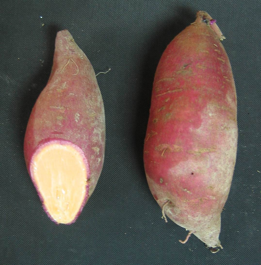 Two sweet potatoes with red skin. One has end cut revealing orange flesh.